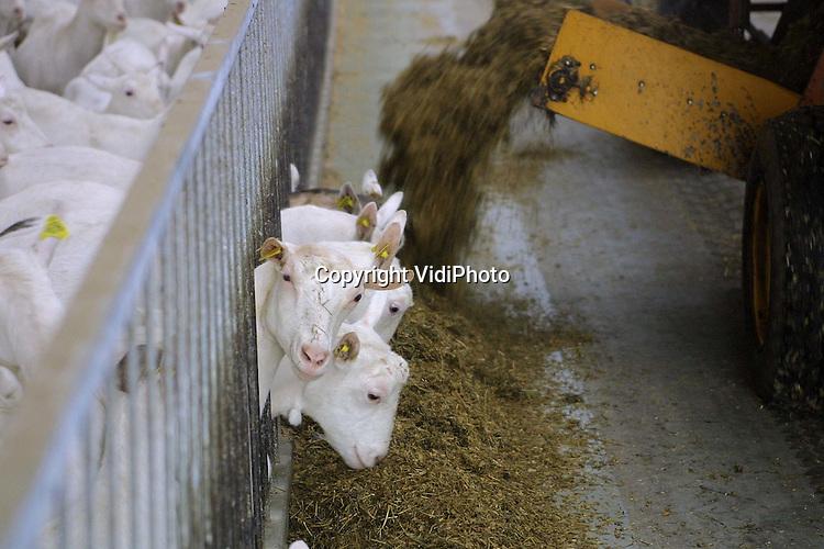 Foto: VidiPhoto..HEIJEN - De duizend geiten van geitenboer Melis uit het Limburgse Heijen worden gevoerd. Melis heeft een van de grootste en modernste melkgeitenbedrijven van Nederland. Omdat voor het houden van melkgeiten geen melkquotum vereist is, stappen steeds meer veehouders over op melkgeiten. Om die reden hebben diverse cooperaties inmiddels een ledenstop ingevoerd. Nieuwe melkgeitenbedrijven moeten, om hun melk kwijt te raken, daardoor zelf zuivelproducten gaan maken en afzetten. Melis is wel aangesloten bij een cooperatie.