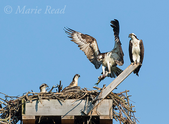 Ospreys (Pandion haliaetus) pair with young at nest, one adult flying in with fish, Salt Pt. Lansing, New York, USA