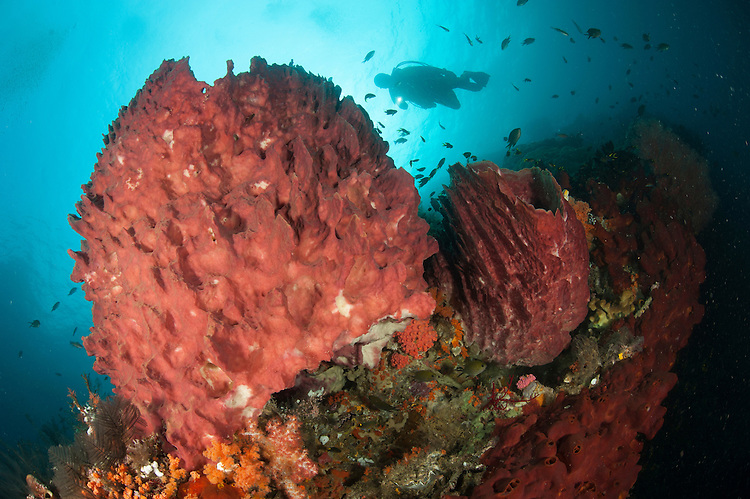 Diver approaching giant barrel sponge (Xestospongia muta) on a reef in Raja Ampat, West Papua, Indonesia