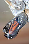 Butterfly Chrysalis, Monarch, Danaus plexippus, Emergent Sequence Image Number 3 of 6