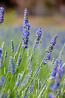 Fields of fragrant lavender flowers in the afternoon sunshine in Kula, Upcountry Maui