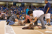 Seal skinning competition at 2008 World Eskimo Indian Olympics, Fairbanks, Alaska.