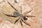 Wolf Spider (Arctosa littoralis), Lake Texoma, Oklahoma, USA