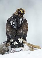Golden eagle (Aquila chrysaëtos), Flatanger, Norway