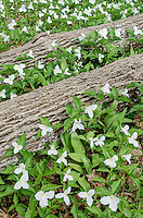 Trillium (Large-flowered Trillium, Trillium grandiflorum) blooms in a forest around fallen tree trunks in Door County, Wisconsin