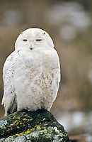 Snowy Owl, Boundary Bay, British Columbia, Canada