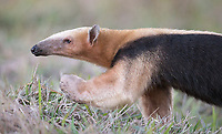 It was exciting to see the Southern tamandua for the first time after photographing its northern cousin in Costa Rica many times over the years.