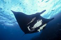 manta ray, Manta birostris, with remoras, The Boiler, San Benedicto Island, Revillagigedos Islands, Mexico, Pacific Ocean