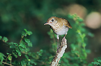 Swainson's Thrush, Catharus ustulatus, adult, High Island, Texas, USA, April 2001