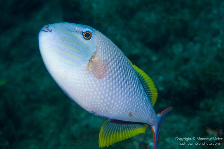 The Aquarium dive site, Socorro Island, Revillagigedos Islands, Mexico; Redtail Triggerfish (Xanthichthys mento) , Copyright © Matthew Meier, matthewmeierphoto.com All Rights Reserved