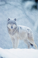 Gray Wolf in heavy snowstorm.  Western U.S., winter.