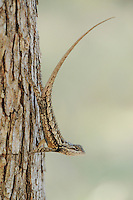 Texas Spiny Lizard (Sceloperus olivaceus), adult perched on Cedar Elm (Ulmus crassifolia), New Braunfels, San Antonio, Hill Country, Central Texas, USA