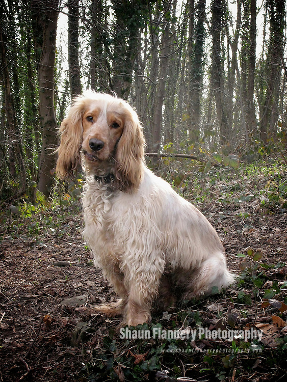 Pix: Shaun Flannery/shaunflanneryphotography.com..COPYRIGHT PICTURE>>SHAUN FLANNERY>01302-570814>>07778315553>>..21st March 2010...........Harvey - Orange Roan Cocker Spaniel