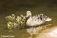 0217-1202  Female Mallard with Ducklings, Anas platyrhynchos  © David Kuhn/Dwight Kuhn Photography