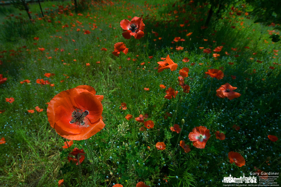 field of orange poppies with purple pistils and stamens