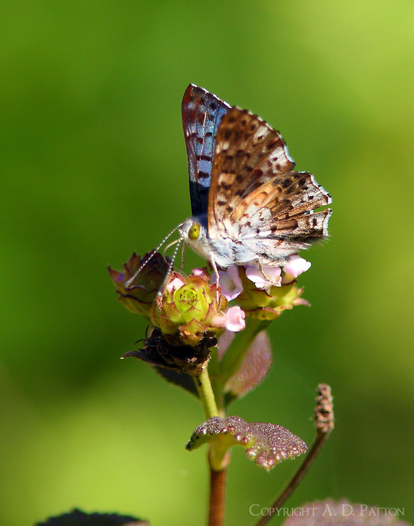 Male blue metalmark,wings closed