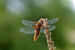Broad-bodied Chaser Dragonfly, Female, Libellula depressa, Sevenoaks Kent Wildlife Trust Nature Reserve, UK, perched on twig over pond
