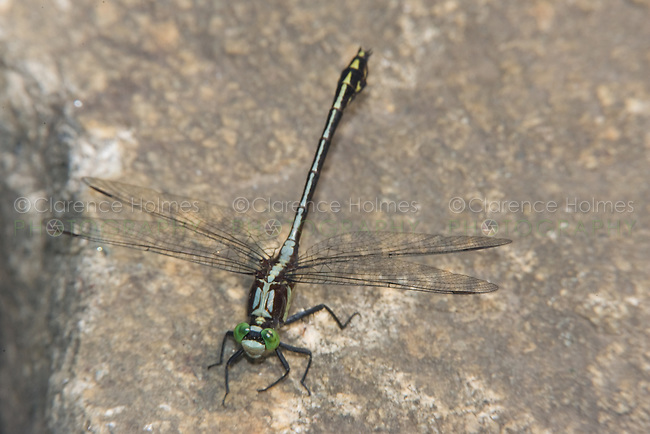Black-shouldered Spinyleg (Dromogomphus spinosus) - Male, Conant Brook Dam, Monson, Hampden County, Massachusetts