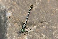 Black-shouldered Spinyleg (Dromogomphus spinosus) - Male, Conant Brook Dam, Monson, Hampden County, Massachusetts