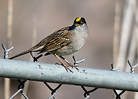 Sparrow - Golden-crowned