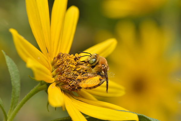 Long-horned Bee (Svastra petulca), Hill Country, Central Texas, USA