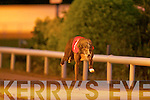WINNER: No.1 Lingrawn Dasher winner of the 2009 Lee Strand 550 Sweepstake second Semi-Final in a time of 30.18 2nd was No.3 Hee Haws Montana and 3rd was No.4 Black Machine at the Kingdom Greyhound Stadium on Friday.