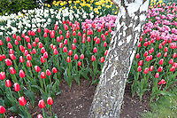 Roozengaarde display garden with mixed tulips and dafodils and alder tree. Mt. Vernon. Washington