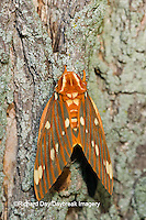 04001-00207 Regal Moth (Citheronia regalis) Marion Co.  IL