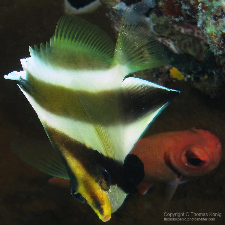 Ulong Channel, Palau -- Pennant Bannerfish (Heniochus chrysostomus).
