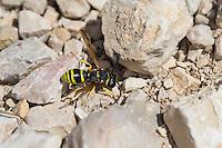 Schornsteinwespe, Schornstein-Wespe, Odynerus consobrinus, Mason Wasp, Potter wasp, Mason Wasps, Potter wasps, Lehmwespe, Lehmwespen, Eumenidae