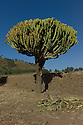 25/01/12. Axum, Ethiopia. Large cactus 'tree' in the grounds of the 'Queen of Sheba's Palace', Axum. Photo credit: Jane Hobson