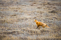 Red fox pauses on the tundra in the Arctic North Slope, Alaska.