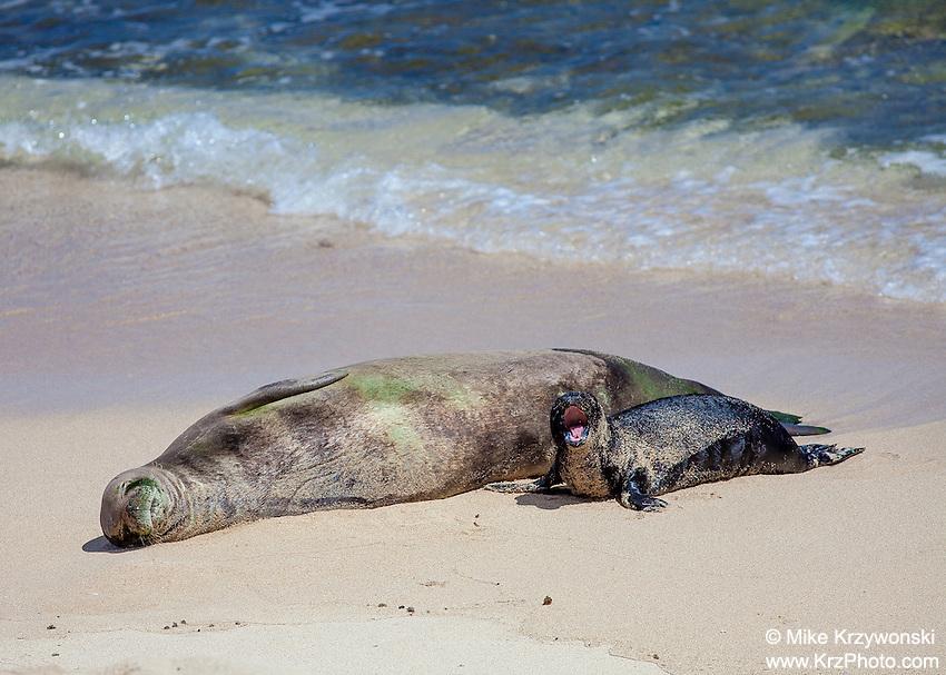 Hawaiian Monk Seals Mother & pup Hawaiian monk seals on beach, Mokuleia, Oahu