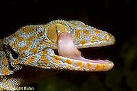 GK12-002z  Tokay Gecko - cleaning eye with tongue -  Gekko gecko