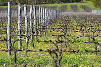 A vineyard in perspective with vines trained in Cordon Royat on metal wires shining in the sunshine and on wooden posts. Bodega Pisano Winery, Progreso, Uruguay, South America