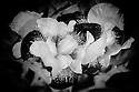 London, UK. 28.05.2016. Orchids, Regent's Park, London. Photograph © Jane Hobson.