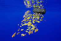 Freckled Driftfish, Psenes cyanophrys, sheltering under abandoned plastic gasoline tank in open ocean, off Kona coast, Big Island, Hawaii, Pacific Ocean.
