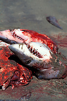butchered shortfin mako sharks, Isurus oxyrinchus, Mexican shark fishery, Isla Magdalena, Baja, Mexico, Pacific Ocean