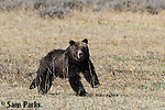 Grizzly bear running. Yellowstone National Park, Wyoming.