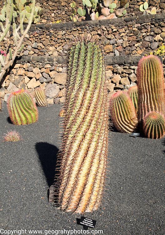 Ferocactus Cylindraceous, Jardin de Cactus designed by César Manrique, Guatiza, Lanzarote, Canary Islands, Spain