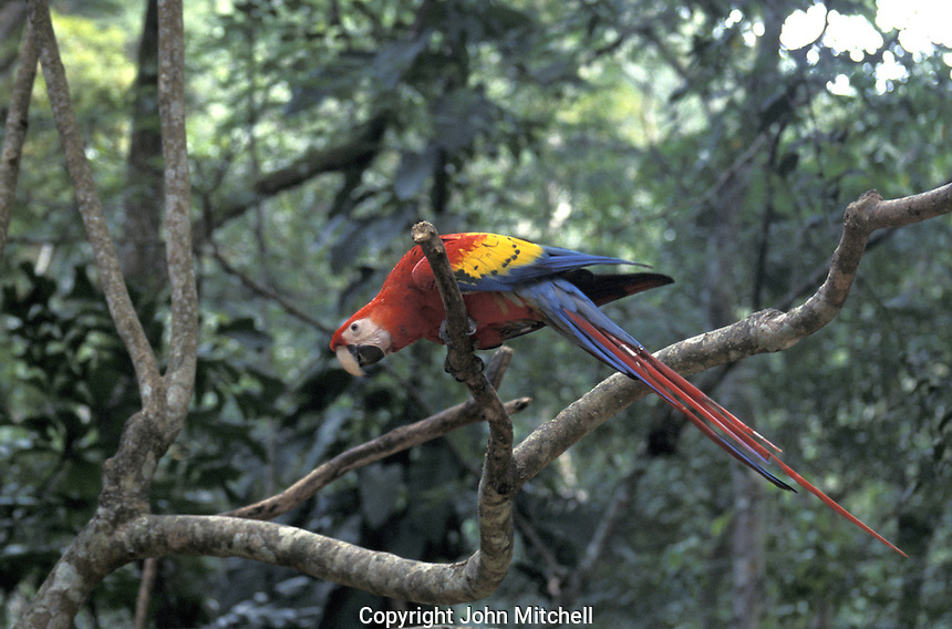 The Scarlet Macaw (Ara macao), a large, colourful parrot. It is native to humid evergreen forests in the American tropics, from extreme eastern Mexico locally to Amazonian Peru and Brazil. It is the national bird of Honduras.