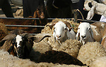 Palestinians trade goats at a local cattle market ahead of Muslim festival of Eid al-Adha, in Rafah in southern Gaza city, on October 20, 2012. Muslims around the world prepare to celebrate Eid Al-Adha, which according to the lunar calendar will be celebrated on October 25, by slaughtering goats, sheep, camels and cattle, commemorating Abraham's willingness to sacrifice his son Ismail on God's command . Photo by Eyad Al Baba