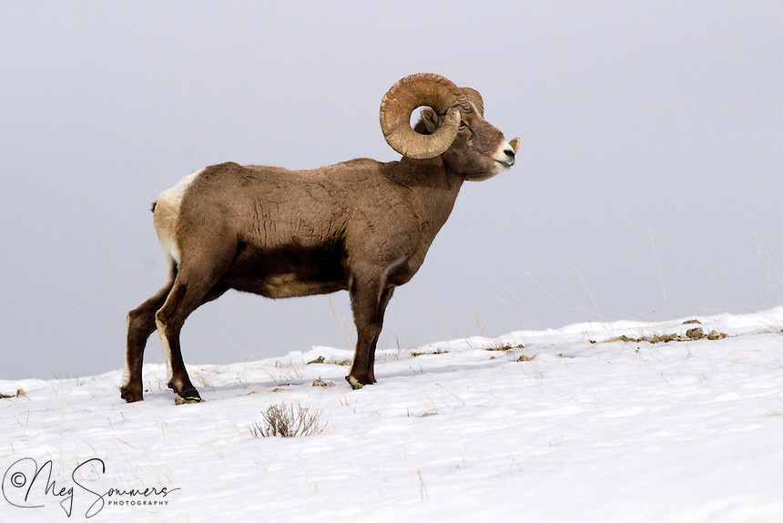 "Big horn rams (Ovis canadensis)horns will grow into a full circle and beyond if they are not broken in fighting. A ""full curl"" is considered quite an accomplishment for a mature ram. Soda Butte Creek confluence with Lamar River, Yellowstone"