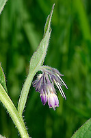 RUSSIAN COMFREY Symphytum x uplandicum (Boraginaceae) Height to 1m. Hybrid between Common and Rough Comfreys, found in hedgerows and on verges. Note the slightly winged stems. FLOWERS are 12-18mm long, usually bluish purple and borne in curved clusters (May-Aug). FRUITS are nutlets. LEAVES are oval; stalks of upper ones run a short distance down stem. STATUS-Widely naturalised. Nb. various other hybrid garden escape comfreys are naturalised locally eg Symphytum 'Hidcote Blue'.
