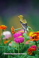 01640-11712 American Goldfinch (Carduelis tristis) female on Zinnias in garden Marion Co. IL