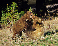 Two Grizzly Bear cubs wrestle (play) in a mountain meadow, Northern Rockies.  May.