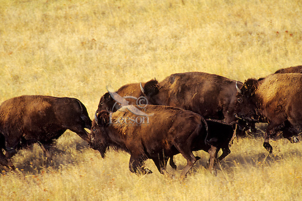 American Bison running.  Western U.S.