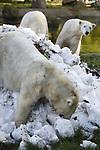 Foto: VidiPhoto<br /> <br /> RHENEN &ndash; De ijsberen van Ouwehands Dierenpark in Rhenen gingen dinsdag aan de vooravond van dierendag helemaal los op hun eigen ijsbaan. Het was voor het eerst in hun leven dat de dieren kennis konden maken met zoveel ijs, dat ze er ook in en mee konden spelen. Leverancier was ijsbaan Triavium in Nijmegen die 12 kubieke meter kersvers afgeschraapt ijs leverde. IJs, en zeker in deze enorme hoeveelheden, is voor ijsberen de ultieme verrijking. Ouwehands is zeer succesvol in het fokken van deze ernstig bedreigde diersoort. Het enthousiasme van de ijsberen was zo groot dat zowel Ouwehands als Triavium ter plaatse besloten om op termijn nog eens een flinke berg ijs te laten bezorgen bij de Rhenense ijsberen.