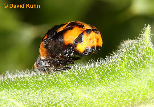 0106-0907  Seven-spotted Ladybug Pupa, Coccinella septempunctata, Virginia  © David Kuhn/Dwight Kuhn Photography