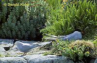 MC56-004z  Arctic Tern - mates changing guard at nest site - Machias Seal Island, Bay of Fundy - Sterna paradisaea  see MC56-003z